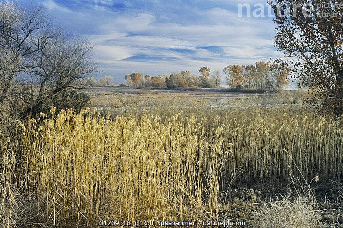 Wetlands with frost on reedbeds, Bosque del Apache National Wildlife Refuge, Socorro, New Mexico, USA,  ,  COLD,FROST,LANDSCAPES,MARSHES,MEXICO,REEDS,RESERVE,USA,WETLANDS,WINTER,North America,Weather  ,  Rolf Nussbaumer