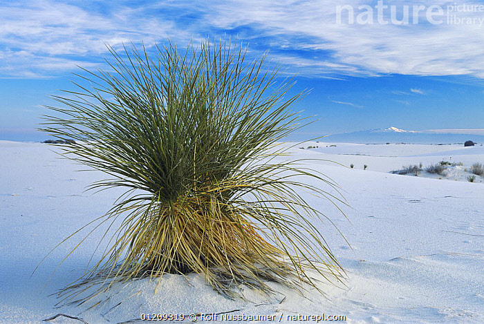 Yucca plant in Sand dunes, White Sands National Park, New Mexico, USA,  ,  BLUE,DESERTS,LANDSCAPES,PLANTS,RESERVE,SAND DUNES,USA,North America  ,  Rolf Nussbaumer