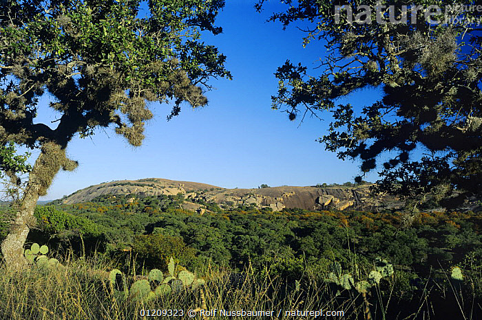Dome seen through Live Oak trees {Quercus virginiana}, Enchanted Rock State Natural Area, Fredericksburg, Texas, USA  ,  CACTI,CACTUS,LANDSCAPES,OPUNTIA,PLANTS,PRICKLY PEAR,RESERVE,TREES,USA,North America  ,  Rolf Nussbaumer