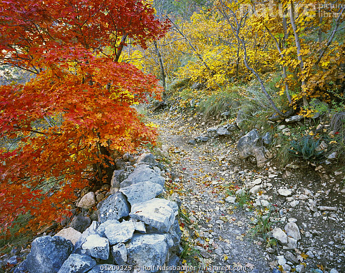Trail with Bigtooth Maples (Acer grandidentatum) in autumn, McKittrick Canyon, Guadalupe Mountains National Park, Texas, USA, November 2005  ,  AUTUMN,COLOURFUL,LANDSCAPES,LEAVES,MOUNTAINS,NP,ORANGE,RESERVE,TREES,USA,WOODLANDS,North America,Plants,National Park  ,  Rolf Nussbaumer