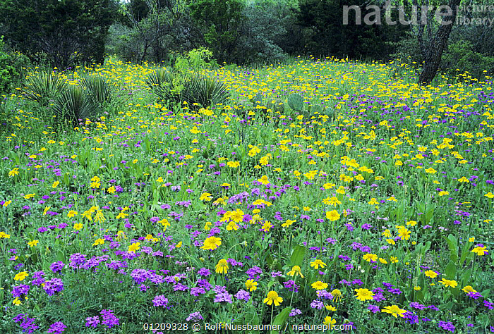 Wildflowers Verbena (purple), Huisache-Daisy (yellow) and Yucca, South Llano River State Park, Hill Country, Texas, USA  ,  FLOWERS,LANDSCAPES,MEADOWLAND,PLANTS,RESERVE,SPRING,USA,North America,Grassland  ,  Rolf Nussbaumer