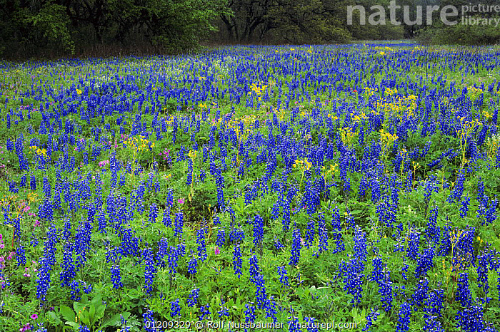 Field of Texas Bluebonnet {Lupinus texensis} flowering, Medina County, Texas, USA  ,  BLUE,COLOURFUL,DICOTYLEDONS,FABACEAE,FLOWERS,LANDSCAPES,LEGUME,PLANTS,USA,WILDFLOWERS,North America  ,  Rolf Nussbaumer