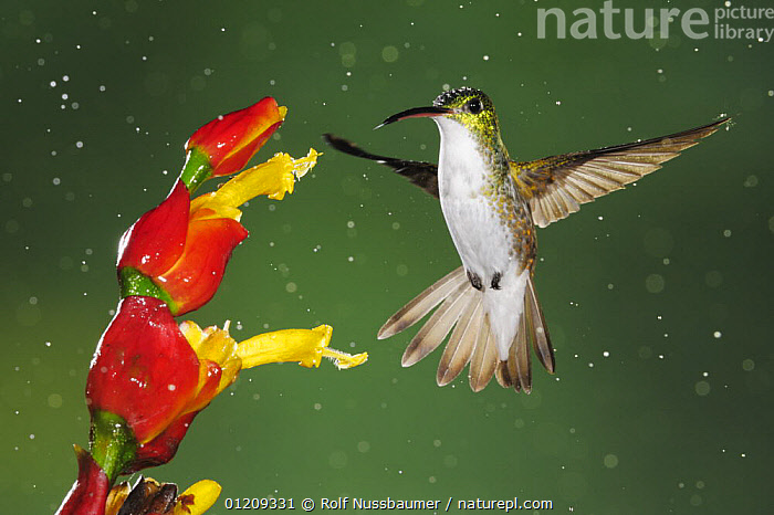 Andean Emerald (Amazilia franciae) adult feeding from ginger flower during rain fall, Mindo, Ecuador, Andes, South America, January  ,  BEHAVIOUR,BIRDS,CLOUDFOREST,DROPS,ECUADOR,EMERALDS,FEEDING,FLOWERS,FLYING,HOVERING,HUMMINGBIRDS,POLLINATION,RAINING,SOUTH AMERICA,,Dispersal,  ,  Rolf Nussbaumer