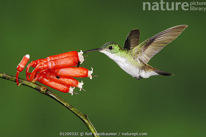 Andean Emerald (Amazilia franciae) adult feeding from flower, Mindo, Ecuador, Andes, South America, January  ,  BEHAVIOUR,BIRDS,CLOUDFOREST,ECUADOR,EMERALDS,FEEDING,FLOWERS,FLYING,HOVERING,HUMMINGBIRDS,POLLINATION,SOUTH AMERICA,,Dispersal,  ,  Rolf Nussbaumer