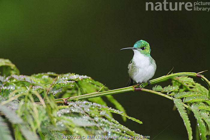 Andean Emerald (Amazilia franciae) adult perched on fern covered in rain drops, Mindo, Ecuador, Andes, South America, January  ,  BIRDS,CLOUDFOREST,DROPS,ECUADOR,EMERALDS,HUMMINGBIRDS,SOUTH AMERICA  ,  Rolf Nussbaumer