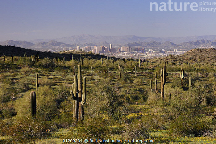 City of Phoenix with Sonoran desert in foreground with Saguaro Cactus (Carnegiea gigantea), South Mountain Park, Phoenix, Arizona, USA, March 2008  ,  CACTACEAE,CACTI,CACTUS,CITIES,DESERTS,LANDSCAPES,USA,North America,Plants  ,  Rolf Nussbaumer