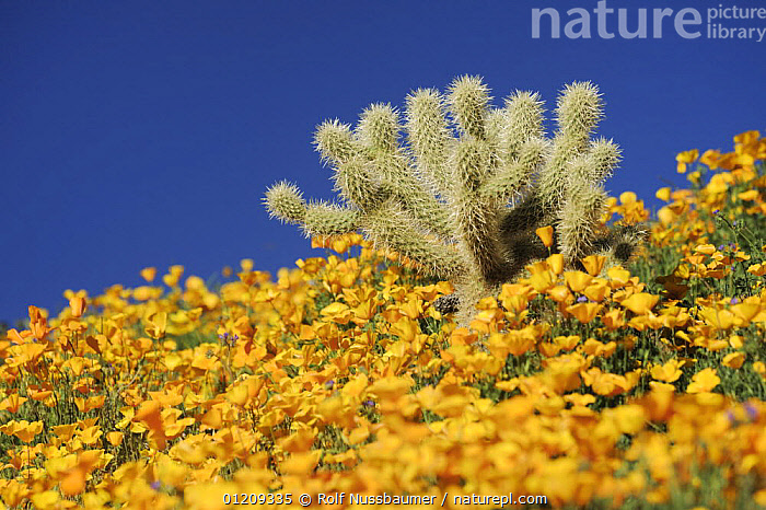 Teddy Bear Cholla Cactus (Cylindropuntia bigelovii) in field of Mexican Gold Poppy (Eschscholzia californica mexicana), Tonto National Forest, Bartlett Lake , Arizona, USA, March  ,  CACTACEAE, CACTI, CACTUS, COLOURFUL, DESERTS, FLOWERS, MIXED-SPECIES, Poppies, SPRING, USA, YELLOW,Plants,North America  ,  Rolf Nussbaumer
