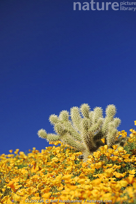 Teddy Bear Cholla Cactus (Cylindropuntia bigelovii) in field of Mexican Gold Poppy (Eschscholzia californica mexicana), Tonto National Forest, Bartlett Lake, Arizona, USA, March  ,  CACTACEAE, CACTI, CACTUS, DESERTS, FLOWERS, LANDSCAPES, Poppies, RESERVE, SPRING, USA, VERTICAL, YELLOW,Plants,North America  ,  Rolf Nussbaumer
