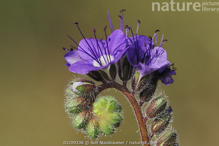 Blue Phacelia (Phacelia distans) blooming, Joshua Tree National Park, California, USA, March  ,  DESERTS,DICOTYLEDONS,FLOWERS,HYDROPHYLLACEAE,PLANTS,PURPLE,RESERVE,SPRING,USA,North America  ,  Rolf Nussbaumer