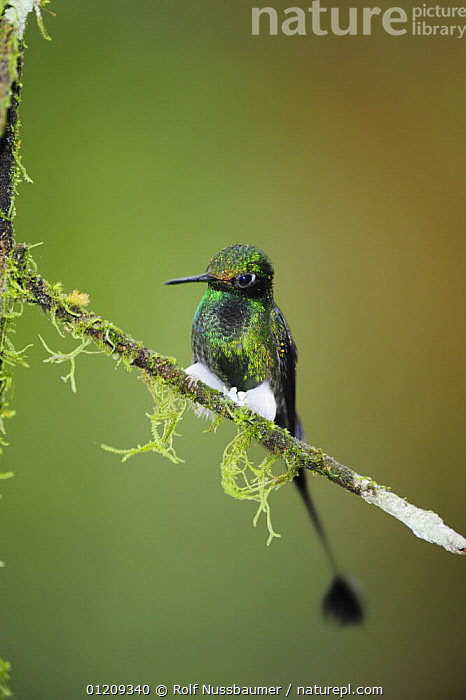 Booted Racket-tail hummingbird (Ocreatus underwoodii) male perched, Mindo, Ecuador, Andes, South America, January  ,  BIRDS,CLOUDFOREST,ECUADOR,GREEN,HUMMINGBIRD,HUMMINGBIRDS,IRRIDESCENCE,IRRIDESCENT,MALES,SOUTH AMERICA,TAILS,TROPICAL RAINFOREST,VERTEBRATES,VERTICAL  ,  Rolf Nussbaumer