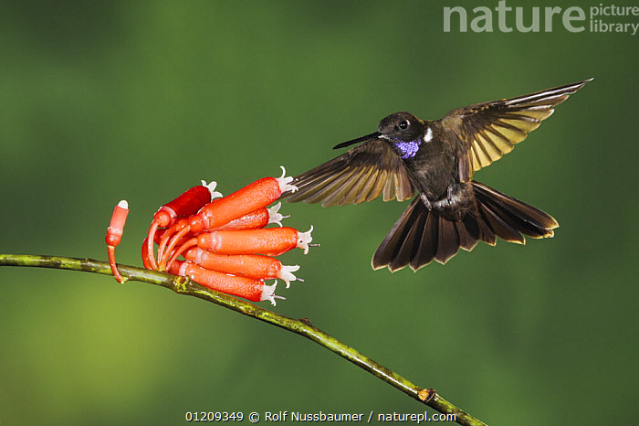 Brown Inca hummingbird (Coeligena wilsoni) adult flying, feeding from flower, Mindo, Ecuador, Andes, South America, January  ,  BEHAVIOUR,BIRDS,CLOUDFOREST,ECUADOR,FEEDING,FLOWERS,FLYING,HOVERING,HUMMINGBIRDS,SOUTH AMERICA,TROPICAL RAINFOREST,VERTEBRATES  ,  Rolf Nussbaumer