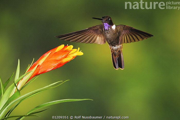 Brown Inca hummingbird (Coeligena wilsoni) adult flying, feeding from Bromeliad flower, Mindo, Ecuador, Andes, South America, January  ,  BEHAVIOUR,BIRDS,BROMELIADS,CLOUDFOREST,ECUADOR,FEEDING,FLOWERS,FLYING,HOVERING,HUMMINGBIRDS,SOUTH AMERICA,TROPICAL RAINFOREST,VERTEBRATES  ,  Rolf Nussbaumer