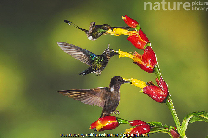 Booted Racket-tail (Ocreatus underwoodii), Green-Crowned Woodnymph (Thalurania fannyi) and Brown Inca (Coeligena wilsoni) adults feeding on Ginger flower, Mindo, Ecuador, Andes, South America, February  ,  BEHAVIOUR,BIRDS,CLOUDFOREST,CONCEPT,FEEDING,FLOWERS,FLYING,HUMMINGBIRD,HUMMINGBIRDS,INTERESTING,MIXED SPECIES,POLLINATION,THREE,VERTEBRATES,,Dispersal,  ,  Rolf Nussbaumer