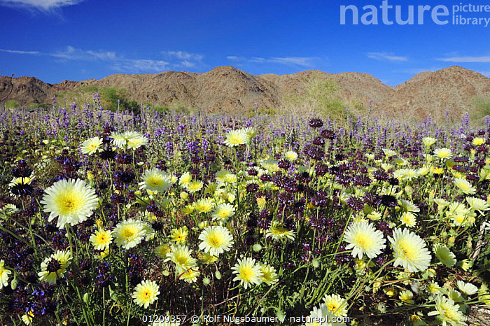 Mojave desert in bloom with Desert Dandelion (Malacothrix californica), Chia (Salvia columbariae) and Arizona lupine (Lupinus arizonicus), Joshua Tree National Park, California, USA, March 2008  ,  DESERTS,FLOWERS,LANDSCAPES,MIXED SPECIES,MOUNTAINS,PLANTS,RESERVE,SPRING,USA,WILDLFOWERS,North America  ,  Rolf Nussbaumer