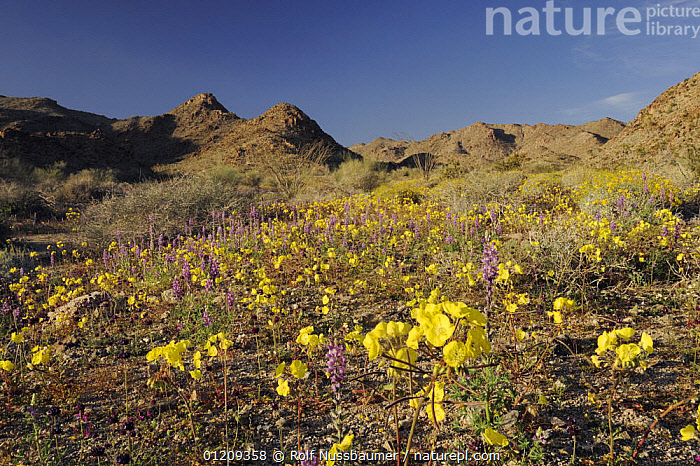 Mojave desert in bloom with Yellow Cups (Camissonia brevipes) and Arizona lupine (Lupinus arizonicus), Joshua Tree National Park, California, USA, March 2008  ,  DESERTS,FLOWERS,LANDSCAPES,PLANTS,RESERVE,SPRING,USA,North America  ,  Rolf Nussbaumer
