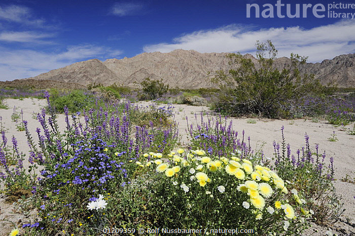 Mojave desert in bloom with Arizona lupine (Lupinus arizonicus) and Desert Dandelion (Malacothrix californica), Sheep Hole Pass, California, USA, March 2008  ,  DESERTS,FLOWERS,LANDSCAPES,MOUNTAINS,PLANTS,RESERVE,SPRING,USA,North America  ,  Rolf Nussbaumer