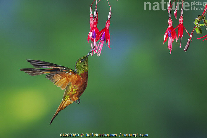 Chestnut-Breasted Coronet hummingbird (Boissonneaua matthewsii) adult feeding from fuchsia flower, Papallacta, Ecuador, Andes, South America, January, BEHAVIOUR,BIRDS,ECUADOR,FEEDING,FLOWERS,FLYING,HOVERING,HUMMINGBIRDS,RUSSET,SOUTH AMERICA,Catalogue1, Rolf Nussbaumer