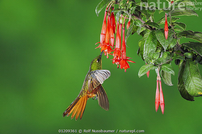 Chestnut-Breasted Coronet hummingbird (Boissonneaua matthewsii) adult feeding from Fuchsia flower, Papallacta, Ecuador, Andes, South America, January, BEHAVIOUR,BIRDS,FEEDING,FLOWERS,FLYING,HOVERING,HUMMINGBIRDS,SOUTH AMERICA, Rolf Nussbaumer