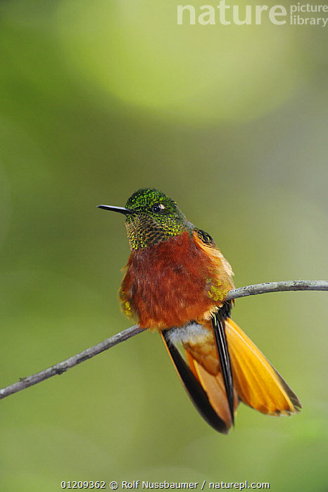 Chestnut-Breasted Coronet hummingbird (Boissonneaua matthewsii), adult perched, Papallacta, Ecuador, Andes, South America, January  ,  BIRDS,ECUADOR,HUMMINGBIRDS,ORANGE,PORTRAITS,RUSSET,SOUTH AMERICA,VERTEBRATES,VERTICAL  ,  Rolf Nussbaumer