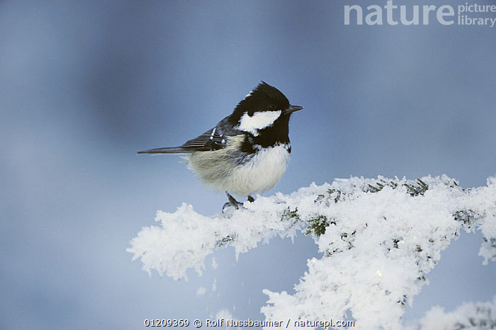 Coal Tit (Periparus ater) adult perched on frost covered conifer, minus 15 Celsius, Switzerland, December  ,  alps, BIRDS, COLD, EUROPE, SNOW, Switzerland, TITS, VERTEBRATES, WINTER  ,  Rolf Nussbaumer