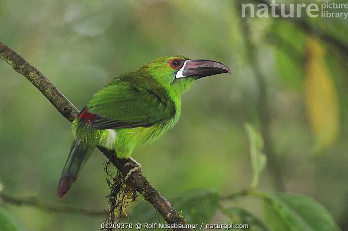Crimson-rumped Toucanet (Aulacorhynchus haematopygus) adult perched, Mindo, Ecuador, Andes, South America, January  ,  BIRDS,CAMOUFLAGE,GREEN,SOUTH AMERICA,TOUCANETS,TOUCANS,TROPICAL RAINFOREST,VERTEBRATES  ,  Rolf Nussbaumer