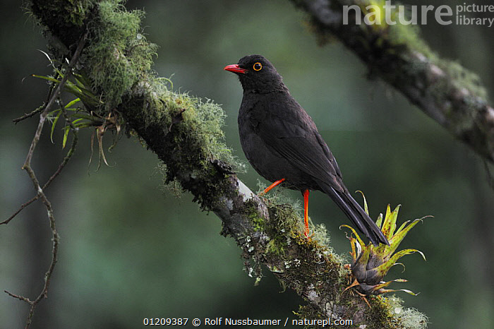 Glossy-black Thrush (Turdus serranus) adult perched, Papallacta, Ecuador, Andes, South America, January  ,  BIRDS,BROMELIADS,LICHEN,SOUTH AMERICA,THRUSHES,TROPICAL RAINFOREST,VERTEBRATES  ,  Rolf Nussbaumer