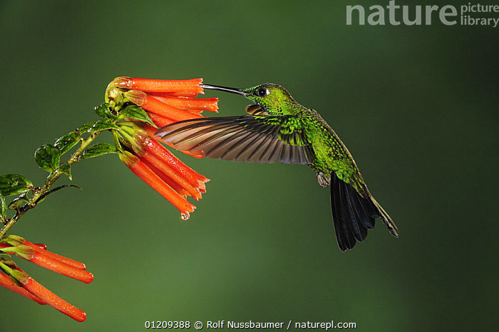 Green-crowned Brilliant hummingbird (Heliodoxa jacula) male feeding from flower, Mindo, Ecuador, Andes, South America, January  ,  BEHAVIOUR,BIRDS,ECUADOR,FEEDING,FLOWERS,FLYING,HOVERING,HUMMINGBIRD,HUMMINGBIRDS,MALES,SOUTH AMERICA,VERTEBRATES  ,  Rolf Nussbaumer