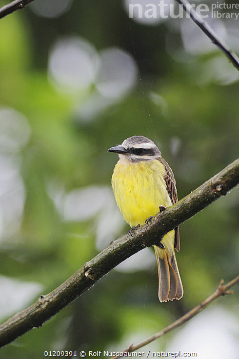 Golden-crowned Flycatcher (Myiodynastes chrysocephalus) adult, Mindo, Ecuador, Andes, South America, January  ,  BIRDS,CLOUDFOREST,FLYCATCHERS,PORTRAITS,SOUTH AMERICA,TROPICAL RAINFOREST,VERTEBRATES,VERTICAL,YELLOW  ,  Rolf Nussbaumer