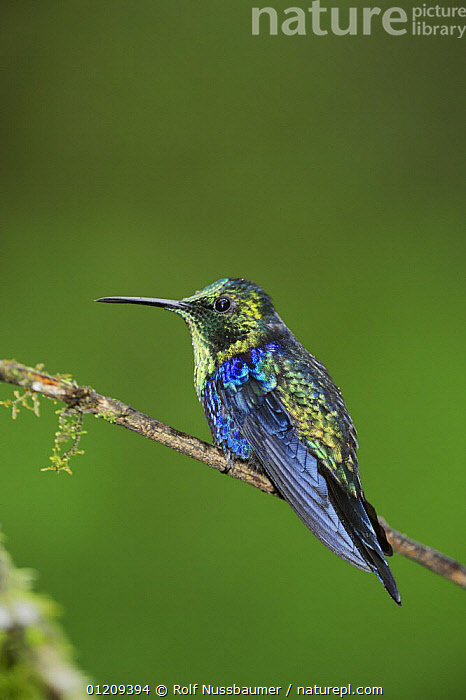 Green-Crowned Woodnymph (Thalurania fannyi) male perched, Mindo, Ecuador, Andes, South America, February  ,  BIRDS, Ecuador, Hummingbird, SOUTH-AMERICA, BLUE, cloudforest, HUMMINGBIRDS, IRRIDESCENT, PORTRAITS, TROPICAL-RAINFOREST, VERTEBRATES, VERTICAL  ,  Rolf Nussbaumer
