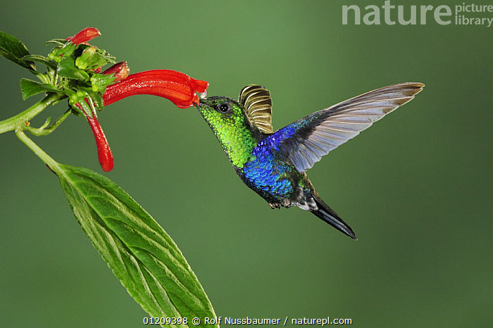 Green-Crowned Woodnymph (Thalurania fannyi) male feeding on flower, Mindo, Ecuador, Andes, South America, February  ,  BLUE, cloudforest, HUMMINGBIRDS, IRRIDESCENT, MALES, TROPICAL-RAINFOREST, VERTEBRATES, BEHAVIOUR, BIRDS, Ecuador, FEEDING, FLOWERS, FLYING, Hummingbird, SOUTH-AMERICA  ,  Rolf Nussbaumer