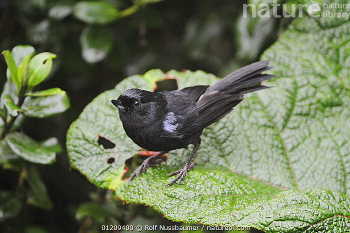 Glossy Flower-piercer (Diglossa lafresnayii) adult, Ecuador, Andes, South America, January  ,  BIRDS,FINCHES,SOUTH AMERICA,TROPICAL RAINFOREST,VERTEBRATES  ,  Rolf Nussbaumer