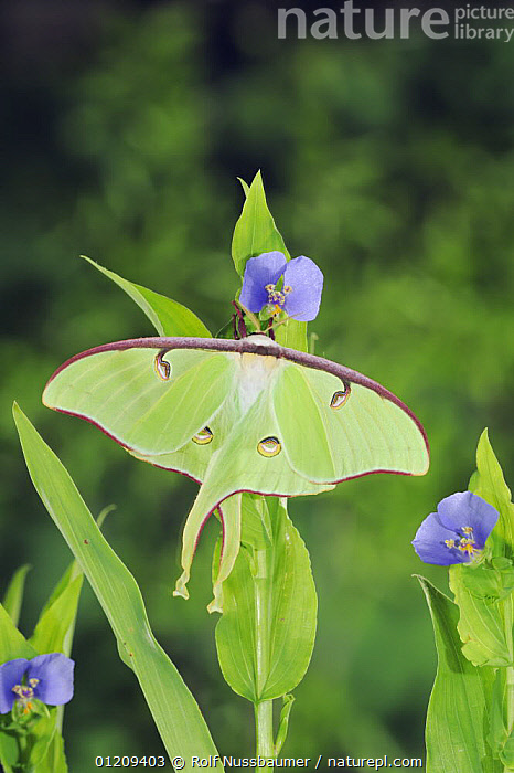 American moon / Luna Moth (Actias luna) resting on Dayflower (Commelina sp) New Braunfels, Texas, USA, March  ,  CAMOUFLAGE,EMPEROR MOTHS,FLOWERS,GREEN,INSECTS,INVERTEBRATES,LARGE,LEPIDOPTERA,MOTHS,PORTRAITS,SIZE,USA,VERTICAL,North America  ,  Rolf Nussbaumer