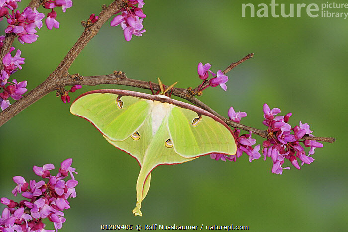 American moon / Luna Moth (Actias luna) resting on Eastern redbud (Cercis canadensis), New Braunfels, Texas, USA, March  ,  EMPEROR MOTHS,FLOWERS,INSECTS,INVERTEBRATES,LARGE,LEPIDOPTERA,MOTHS,PURPLE,SIZE,USA,North America  ,  Rolf Nussbaumer