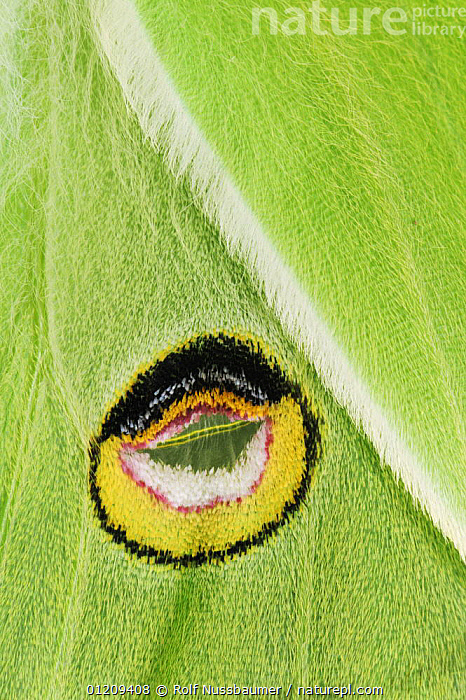 Close up of eyespot on back wing of American moon / Luna Moth (Actias luna) New Braunfels, Texas, USA, March 2008  ,  ARTY,EMPEROR MOTHS,EYES,GREEN,HAIRS,HAIRY,INSECTS,INVERTEBRATES,LARGE,LEPIDOPTERA,MOTHS,PATTERNS,SCALES,SPOTS,USA,VERTICAL,WINGS,North America  ,  Rolf Nussbaumer