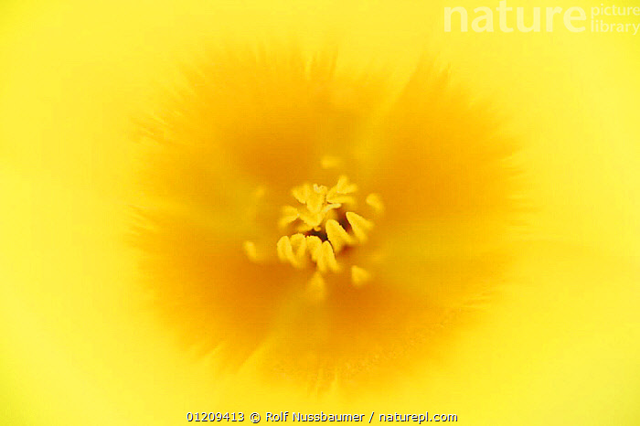 Mexican Gold Poppy (Eschscholzia californica mexicana) close up of flower, Tonto National Forest, Bartlett Lake , Arizona, USA, March, ABSTRACT, arty, CLOSE-UPS, DICOTYLEDONS, FLOWERS, PAPAVERACEAE, petals, SPRING, stamens, USA, YELLOW,North America, Rolf Nussbaumer