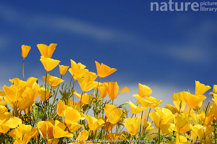 Mexican Gold Poppy (Eschscholzia californica mexicana) blooming in spring, Tonto National Forest, Bartlett Lake , Arizona, USA, March  ,  DESERTS, DICOTYLEDONS, FLOWERS, GROUPS, ORANGE, PAPAVERACEAE, Poppies, SPRING, USA, wildflowers, YELLOW,North America  ,  Rolf Nussbaumer