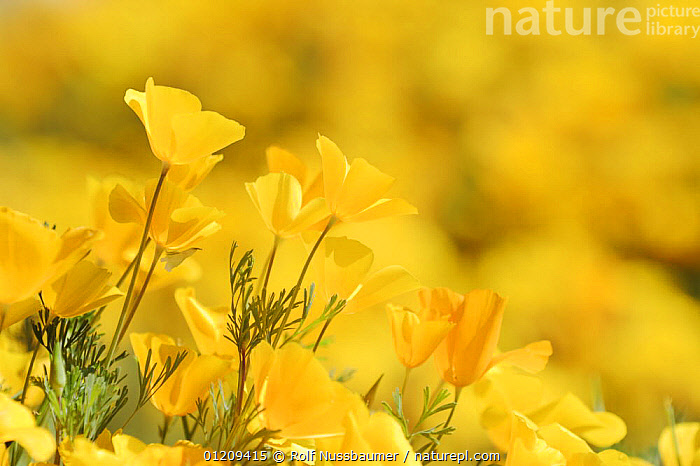 Mexican Gold Poppy (Eschscholzia californica mexicana) flowering in spring, Tonto National Forest, Bartlett Lake , Arizona, USA, March  ,  DESERTS, DICOTYLEDONS, FLOWERS, GROUPS, PAPAVERACEAE, Poppies, SPRING, USA, YELLOW,North America  ,  Rolf Nussbaumer