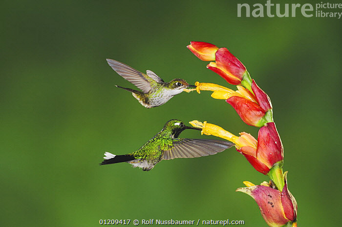 Booted Racket-tail hummingbird (Ocreatus underwoodii) and Purple-bibbed Whitetip (Urosticte benjamini), adults feeding from Ginger flower, Mindo, Ecuador, Andes, South America, February  ,  BEHAVIOUR,BIRDS,CLOUDFOREST,FEEDING,FLOWERS,FLYING,HOVERING,HUMMINGBIRD,HUMMINGBIRDS,IRRIDESCENT,MIXED SPECIES,SOUTH AMERICA,TROPICAL RAINFOREST,TWO,VERTEBRATES  ,  Rolf Nussbaumer
