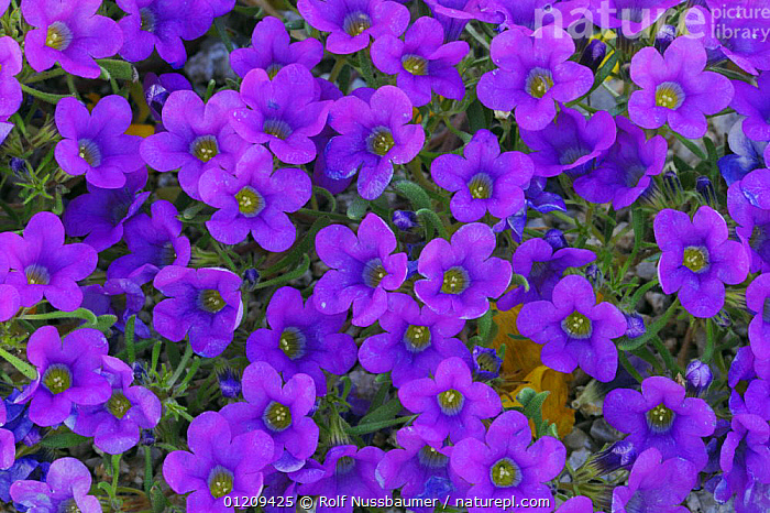 Purple Mat (Nama demissum) blooming, Joshua Tree National Park, California, USA, March  ,  DESERTS,DICOTYLEDONS,FLOWERS,GROUPS,HYDROPHYLLACEAE,PLANTS,PURPLE,RESERVE,USA,North America  ,  Rolf Nussbaumer