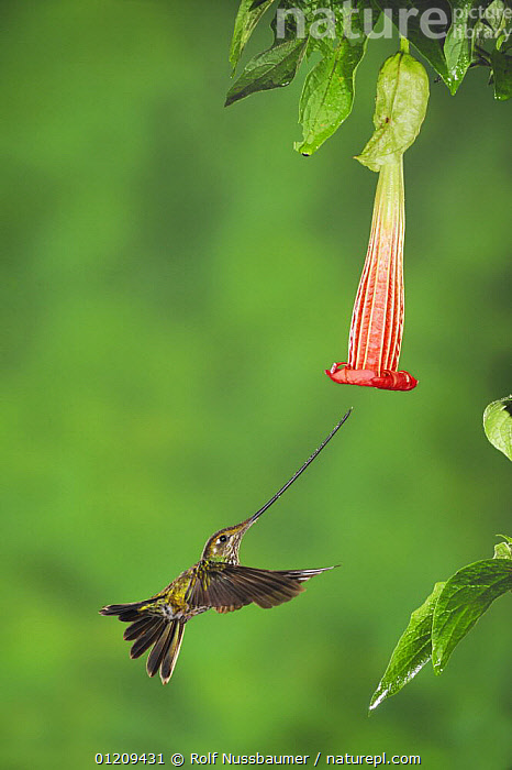 Sword-billed Hummingbird (Ensifera ensifera) female feeding from Datura flower, Papallacta, Ecuador, Andes, South America, January  ,  ADAPTATION,BEAKS,BEHAVIOUR,BIRDS,DRINKING,ECUADOR,FEEDING,FLOWERS,FLYING,HOVERING,HUMMINGBIRDS,LARGE,POLLINATION,SIZE,SOUTH AMERICA,VERTEBRATES,VERTICAL,Catalogue1  ,  Rolf Nussbaumer