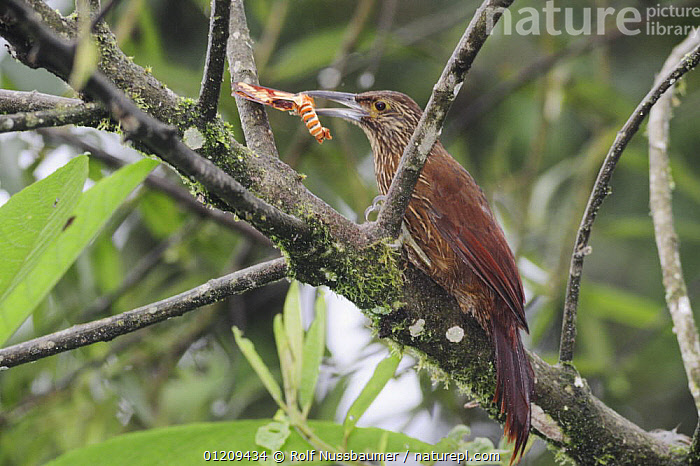 Strong-billed Woodcreeper (Xiphocolaptes promeropirhynchus) adult with moth prey, Mindo, Ecuador, Andes, South America, January  ,  BEHAVIOUR, BIRDS, LEPIDOPTERA, FEEDING, INSECTS, MOTHS, TROPICAL-RAINFOREST, VERTEBRATES, WOODCREEPERS,Invertebrates  ,  Rolf Nussbaumer