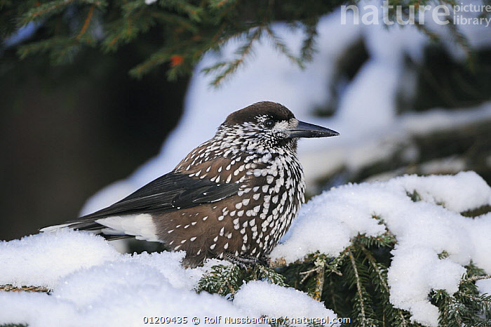 Spotted Nutcracker (Nucifraga caryocatactes) adult perched with feathers fluffed up for warmth, minus 15 Celsius, Davos, Switzerland, December  ,  ALPS,BIRDS,CONIFERS,EUROPE,FEATHERS,SNOW,SWITZERLAND,THERMOREGULATION,VERTEBRATES,WINTER,Corvids  ,  Rolf Nussbaumer