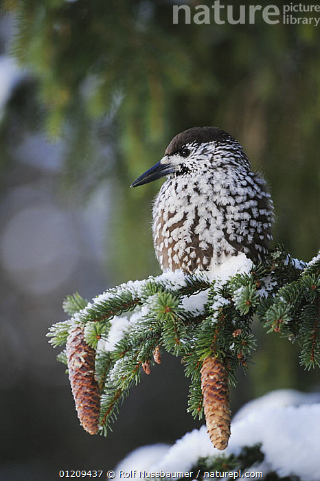Spotted Nutcracker (Nucifraga caryocatactes) adult perched on conifer with feathers fluffed up for warmth, minus 15 Celsius, Davos, Switzerland, December  ,  ALPS,BIRDS,CONES,CONIFERS,EUROPE,SNOW,SPRUCE,SWITZERLAND,THERMOREGULATION,VERTEBRATES,VERTICAL,WINTER,Corvids  ,  Rolf Nussbaumer