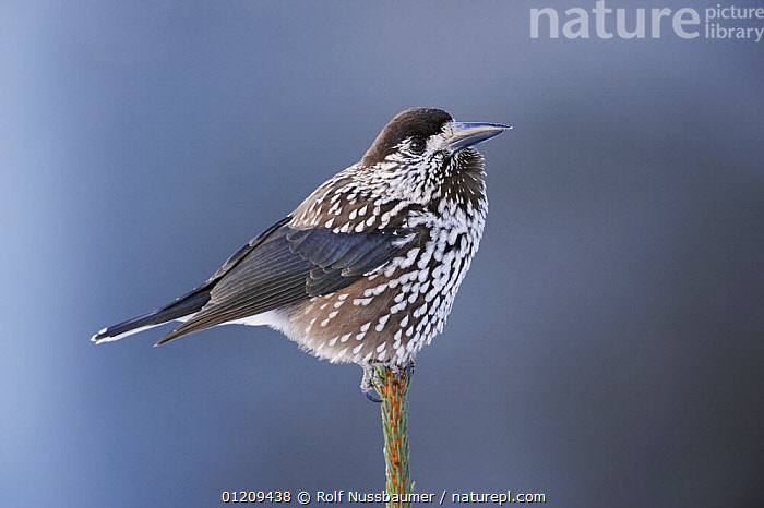 Spotted Nutcracker (Nucifraga caryocatactes) adult perched with feathers fluffed up for warmth, minus 15 Celsius, Davos, Switzerland, December  ,  ALPS,BIRDS,EUROPE,PORTRAITS,PROFILE,SWITZERLAND,THERMOREGULATION,VERTEBRATES,Corvids  ,  Rolf Nussbaumer