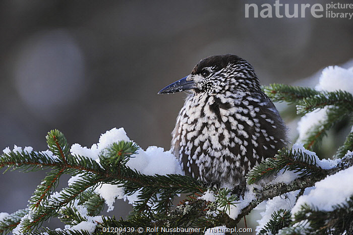 Spotted Nutcracker (Nucifraga caryocatactes) adult perched on spruce tree with feathers fluffed up for warmth, minus 15 Celsius, Davos, Switzerland, December  ,  ABIES,ALPS,BIRDS,CONIFERS,DAVOS,EUROPE,FEATHERS,FROST,HORIZONTAL,ICE,MOUNTAINS,NORWAY,PANORAMIC,PICEA,PORTRAITS,SNOW,SPRUCE,SWITZERLAND,THERMOREGULATION,VERTEBRATES,VERTICAL,Scandinavia,Weather,Corvids  ,  Rolf Nussbaumer