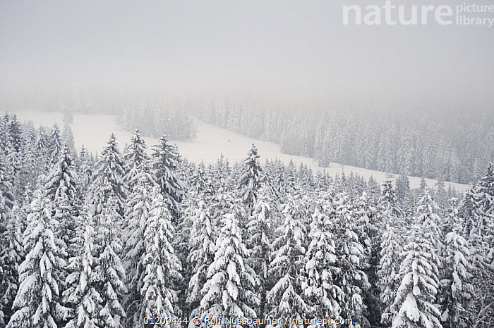 Snow covered coniferous forest with fog, Zug, Switzerland, December 2007  ,  COLD,CONIFEROUS,CONIFERS,EUROPE,LANDSCAPES,SNOW,SWITZERLAND,TREES,WINTER,WOODLANDS,Plants  ,  Rolf Nussbaumer