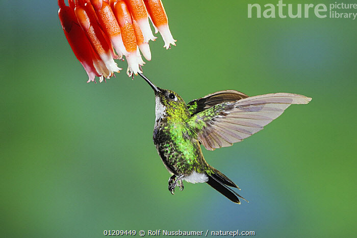 Tourmaline Sunangel (Heliangelus exortis), female feeding from flower, Papallacta, Ecuador, Andes, South America, January  ,  BEHAVIOUR,BIRDS,FEEDING,FEMALES,FLOWERS,FLYING,GREEN,HOVERING,HUMMINGBIRD,HUMMINGBIRDS,IRRIDESCENT,SOUTH AMERICA,TROPICAL RAINFOREST,VERTEBRATES  ,  Rolf Nussbaumer