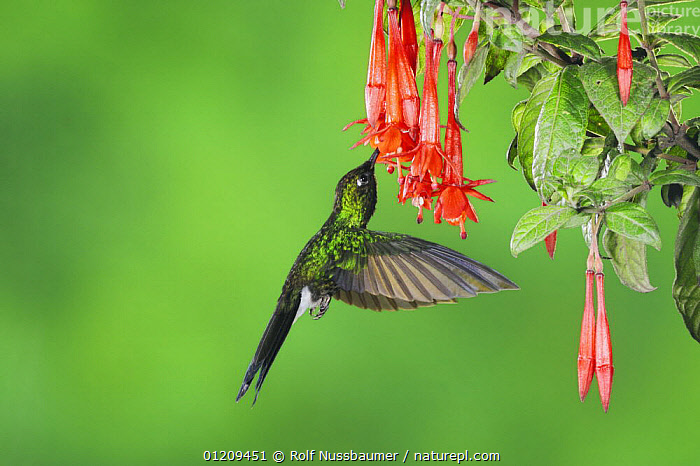Tourmaline Sunangel (Heliangelus exortis), male feeding from Fuchsia flower, Papallacta, Ecuador, Andes, South America, January  ,  BEHAVIOUR,BIRDS,FEEDING,FLOWERS,FLYING,GREEN,HUMMINGBIRD,HUMMINGBIRDS,IRRIDESCENT,MALES,SOUTH AMERICA,TROPICAL RAINFOREST,VERTEBRATES,VERTICAL  ,  Rolf Nussbaumer