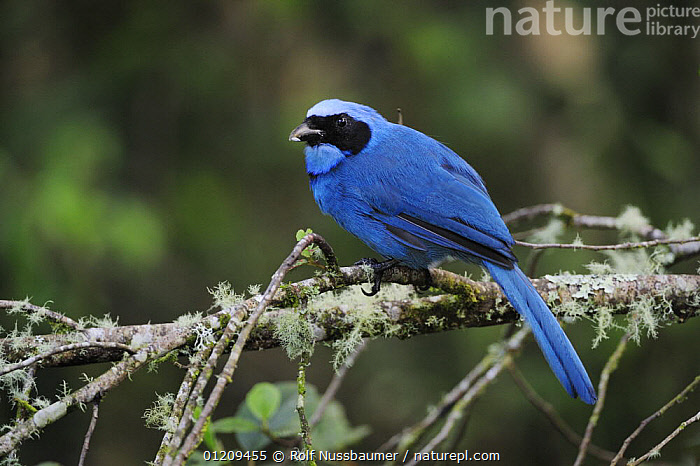 Turquoise Jay (Cyanolyca turcosa) adult perched, Papallacta, Ecuador, Andes, South America, January  ,  BIRDS,BLUE,COLOURFUL,CORVIDS,JAYS,SOUTH AMERICA,TROPICAL RAINFOREST  ,  Rolf Nussbaumer