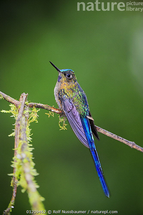 Violet-tailed Sylph (Aglaiocercus coelestis), male perched, Mindo, Ecuador, Andes, South America, January  ,  BIRDS,BLUE,CLOUDFOREST,COLOURFUL,HUMMINGBIRD,HUMMINGBIRDS,MALES,PORTRAITS,PURPLE,SOUTH AMERICA,TROPICAL RAINFOREST,VERTEBRATES,VERTICAL  ,  Rolf Nussbaumer